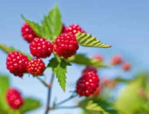 Berry recipes and benefits