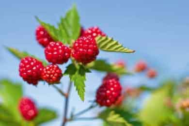 nd_PH Story Berries_berry recipe