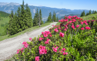 Hiking holiday in Austria_Mountain flora_Teaser